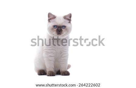 Beautiful stylish purebred british cat. Animal portrait. Purebred cat is lying. White background. Isolated