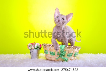 Beautiful stylish purebred cat. Animal portrait. Purebred cat is lying. Yellow background. Colorful decorations