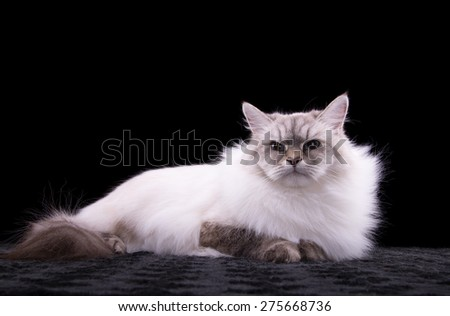 Beautiful stylish purebred cat. Animal portrait. Purebred cat is sitting. Black background. Colorful decorations. Collection of funny animals - stock photo