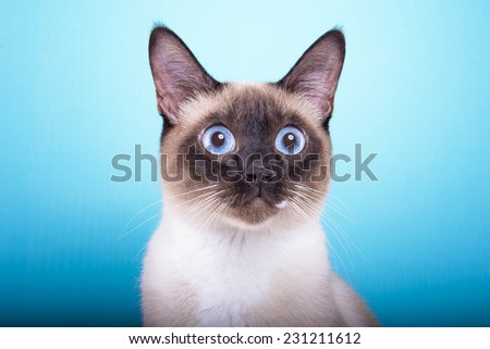 Beautiful stylish Siamese cat. Animal portrait. Siamese cat is lying. Blue background. Colorful decorations. Collection of funny animals - stock photo