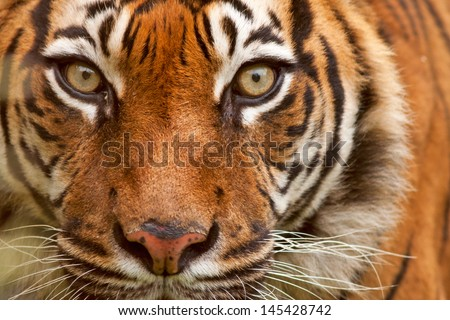 Beautiful sumatran tiger  - stock photo