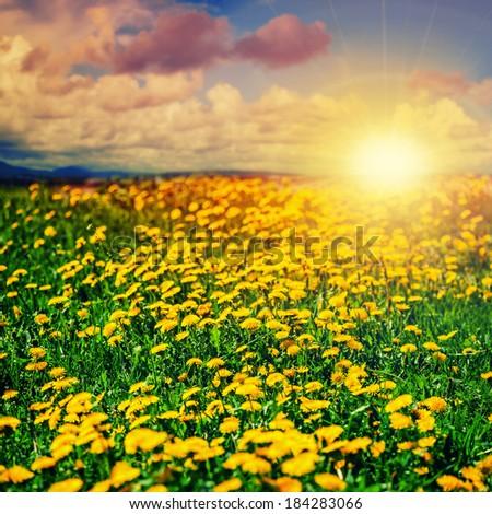 Beautiful summer background. Dandelion field and sunset.  - stock photo