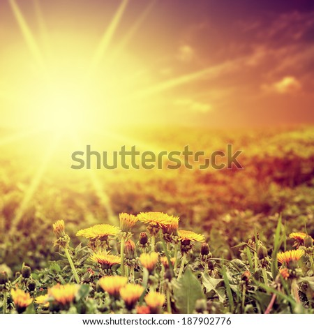 Beautiful summer background. Dandelion field and sunset.  - stock photo