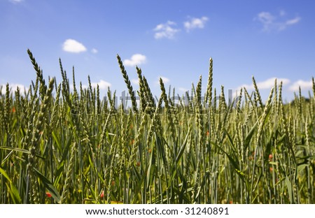 Beautiful summer background in vibrant colors. Young green wheat standing over the clear blue sky.