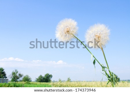Beautiful summer landscape flowers on the field. dandelions, cornflowers