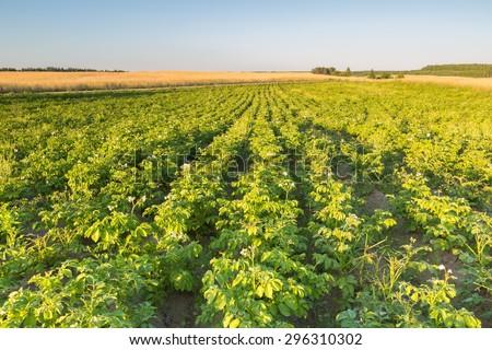 Beautiful summer landscape of potato field in sunset light. Polish countryside - stock photo