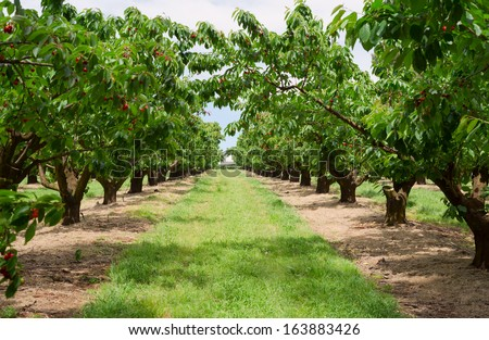 Beautiful summer photo of cherry trees in orchard. - stock photo