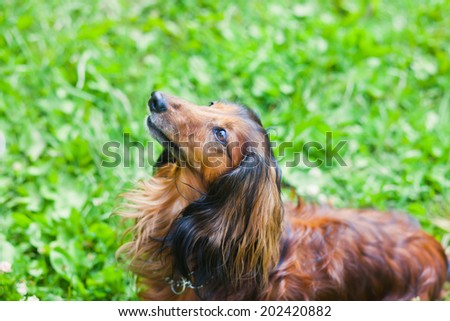 beautiful summer picture of adult funny dachshund with a green grass on a background - stock photo