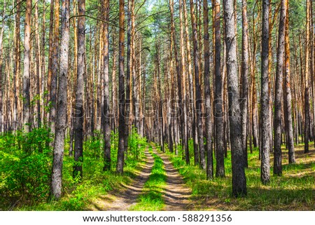 beautiful summer pine tree forest
