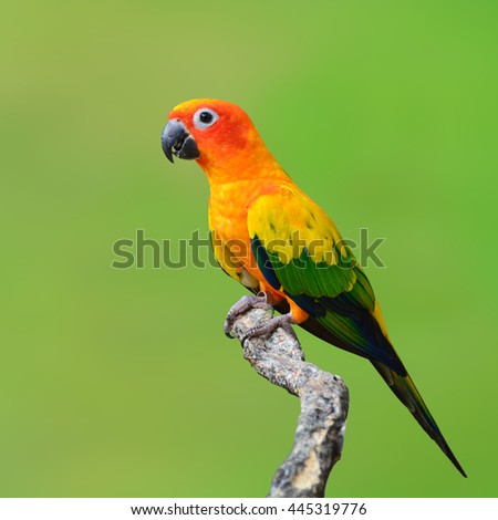 Beautiful Sun Conure bird isolated on green background. - stock photo