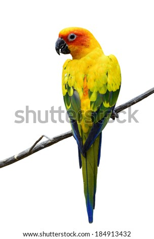 Beautiful Sun Conure, the colorful yellow parrot bird isolated on white background - stock photo