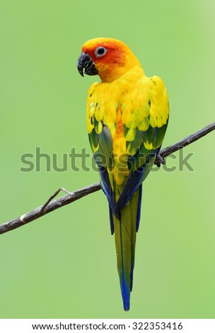 Beautiful Sun Conure, the yellow parrot bird perching on the stick with nice green blur background - stock photo