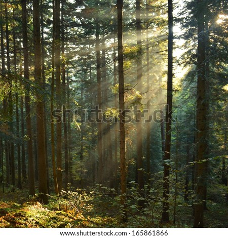 Beautiful sunbeams in pine forest - stock photo
