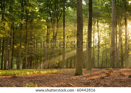 Beautiful sunbeams in the forest at early morning. - stock photo