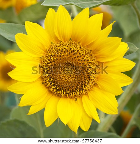 Beautiful sunflower against a background of leaves - stock photo