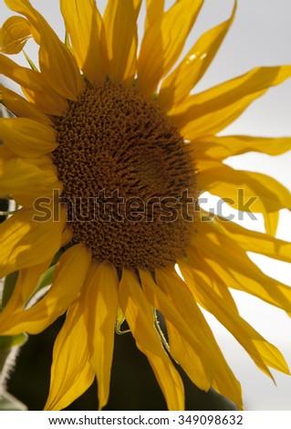 Beautiful sunflower against the sky.Macro shooting - stock photo