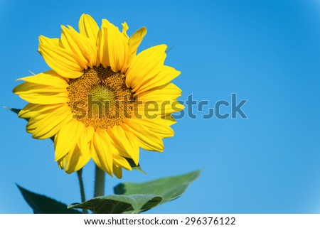 Beautiful sunflower and blue sky.