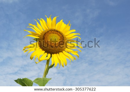 Beautiful sunflower  and blue sky in Thailand