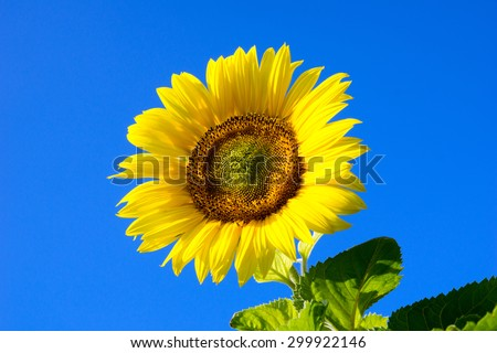 beautiful sunflower and blue sky / sunflower - stock photo