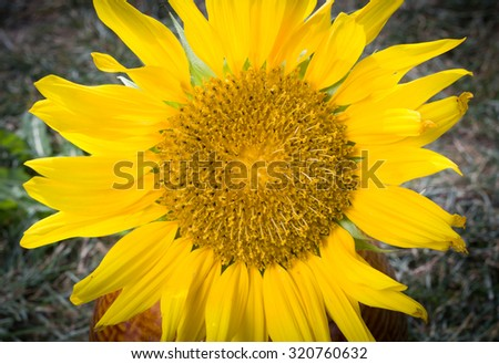 Beautiful sunflower blooming in the huge garden - stock photo