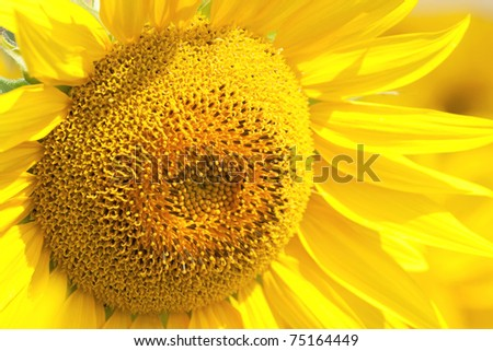 Beautiful sunflower closeup - stock photo