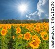 beautiful sunflower field - stock photo