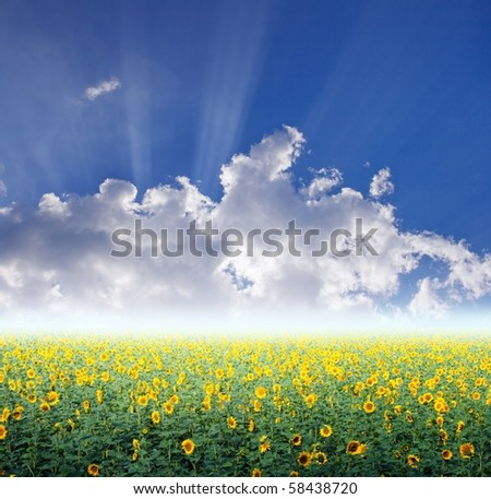 Beautiful sunflower field and blue sky
