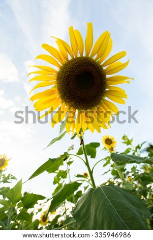 Beautiful Sunflower field over cloudy blue sky and bright sun lights.