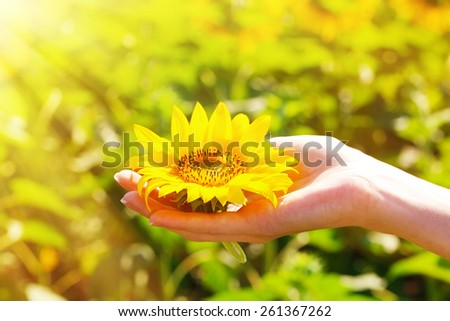 Beautiful sunflower in hand on sunny nature background - stock photo