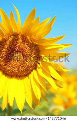 Beautiful sunflower in the field, close up - stock photo