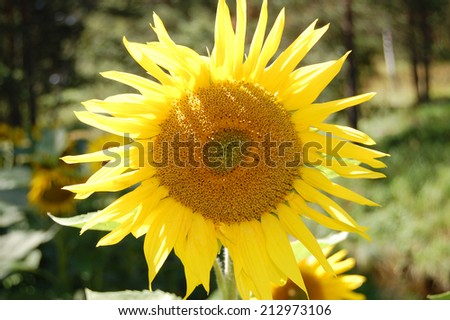 Beautiful sunflower in the mountain background - stock photo