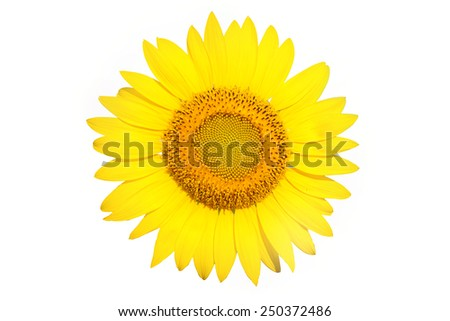 Beautiful sunflower on a white background - stock photo