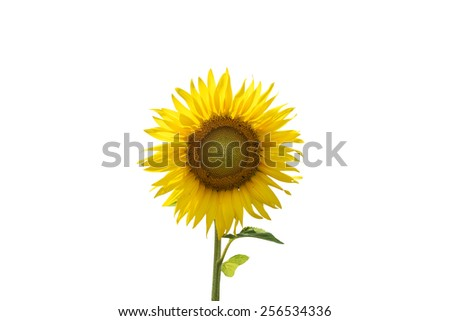 Beautiful sunflower on white background - stock photo