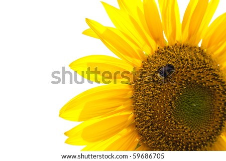 Beautiful sunflower with bumble bee on with background - stock photo