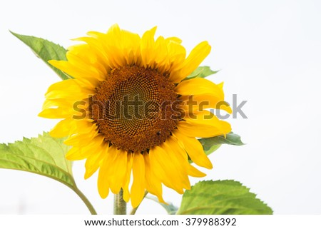 Beautiful sunflower with natural background, stock photo