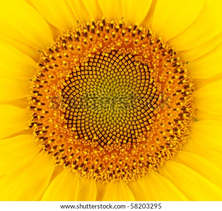 Beautiful sunflower with petals closeup - stock photo