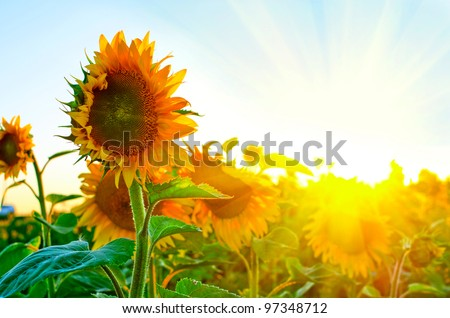 beautiful sunflowers at field - stock photo