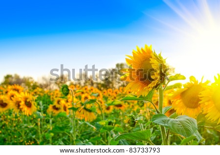beautiful sunflowers at field with blue sky and sunburst - stock photo