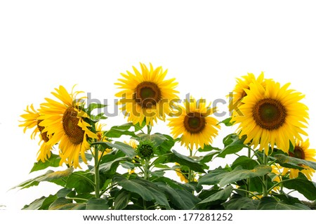 beautiful sunflowers blooming isolated