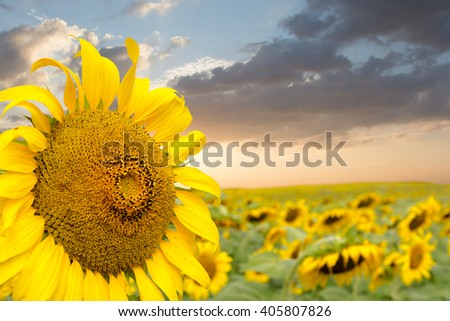 Beautiful sunflowers in the field with bright blue sky. with Clipping Path - stock photo