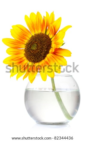 beautiful sunflowers in vase isolated on white - stock photo