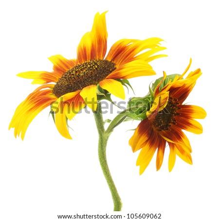 beautiful sunflowers , isolated on white - stock photo
