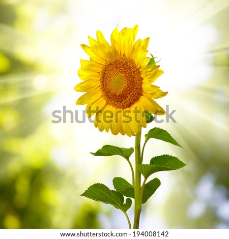 beautiful sunflowers on sunburst background closeup - stock photo