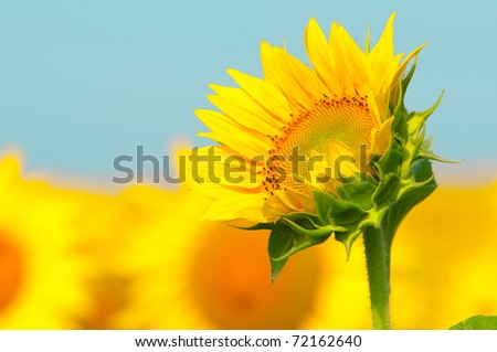 beautiful sunflowers outdoors on summer - stock photo