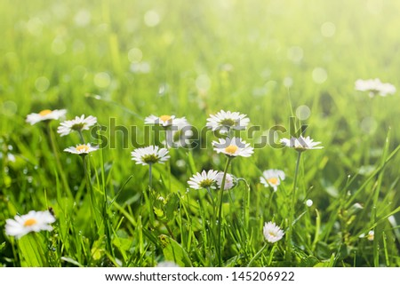Beautiful sunny daisy flowers (Bellis perennis)