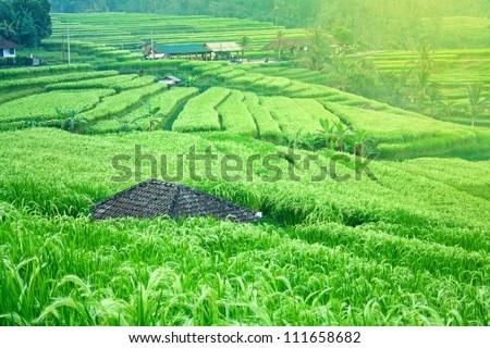 Beautiful sunrise on the green rice paddy field. Morning on rice terrace. - stock photo