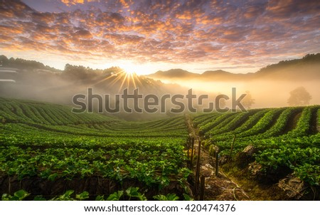 "Beautiful sunrise scene at strawberry field terrace at ""Doi Angkang"" , ""Chiang mai"" Thailand."