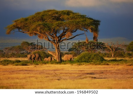 Beautiful sunrise with Elephants under a tree in Amboseli National Park, Kenya