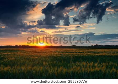Beautiful sunset in green wheat field - stock photo