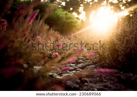 Beautiful sunset over lavender field at summer evening - stock photo